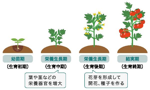 植物の生育ステージ