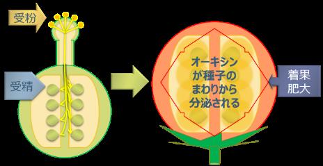 ■自家受粉によるトマトの着果肥大■