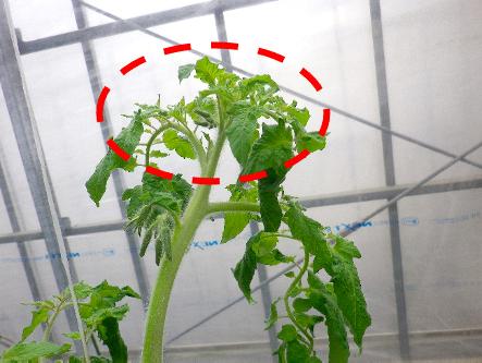 トマトの「生長点」