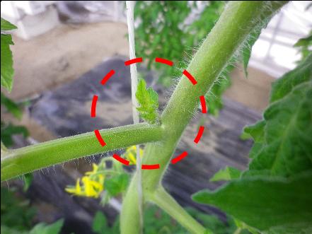 トマトの「わき芽」