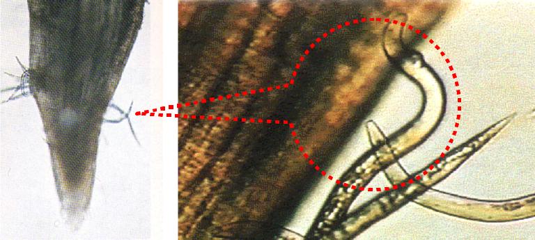 根の先端部とネコブセンチュウ2期幼虫が根内に侵入している様子