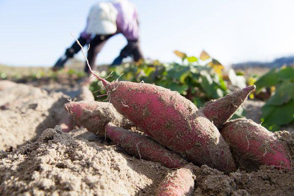 農作物に被害をもたらす「センチュウ」の生態とは