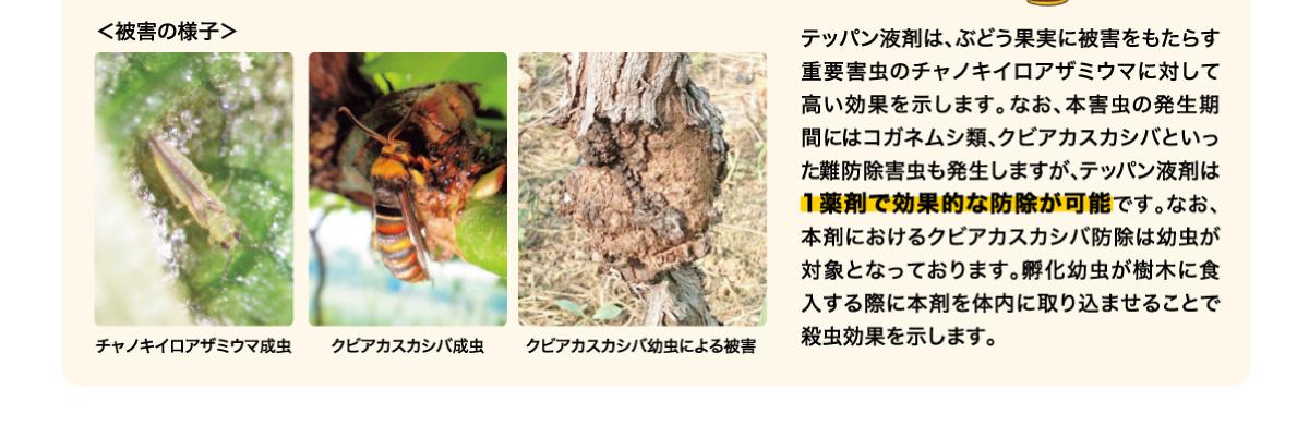 テッパン液剤は、ぶどう果実に被害をもたらす重要害虫のチャノキイロアザミウマに対して高い効果を示します。なお、本害虫の発生期間にはコガネムシ類、クビアカスカシバといった難防除害虫も発生しますが、テッパン液剤は1薬剤で効果的な防除が可能です。なお、本剤におけるクビアカスカシバ防除は幼虫が対象となっております。孵化幼虫が樹木に食入する際に本剤を体内に取り込ませることで殺虫効果を示します。
